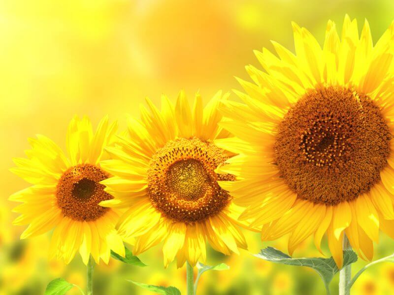 Three bright yellow sunflowers, Foto: frenta, fotolia.com